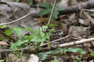 Ovenbird by Jeff Kingery