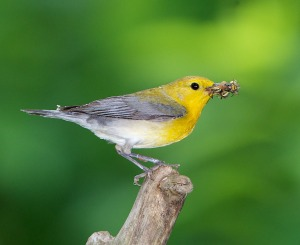 Prothonotary Warbler -  by Doug Tallamy