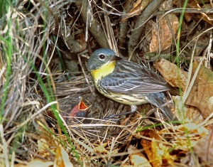 Kirtland's feeding a cowbird nestling (photo by Ron Austing)