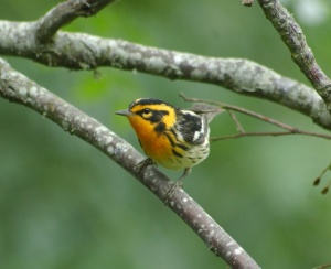 Blackburnian Warbler - photo by Jim Stevenson