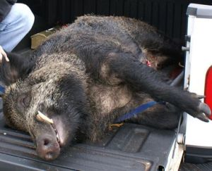 Photo courtesy of www.mlive.com  A 350-pound wild boar shot in Mecosta County.